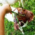 Feeding Mommy goat.